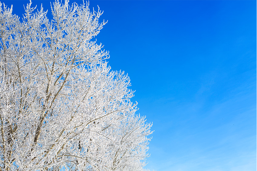 Klarblå himmel och ett träd med frost